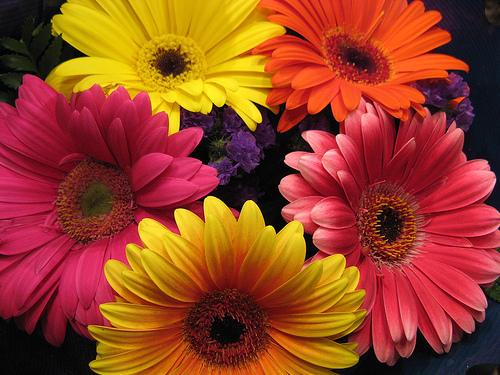 tipos de flores las gerberas